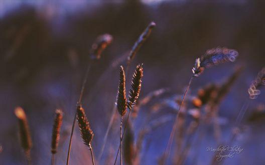 Обои Колосья травы, фотограф Кристина Манченко / Kristina Manchenko