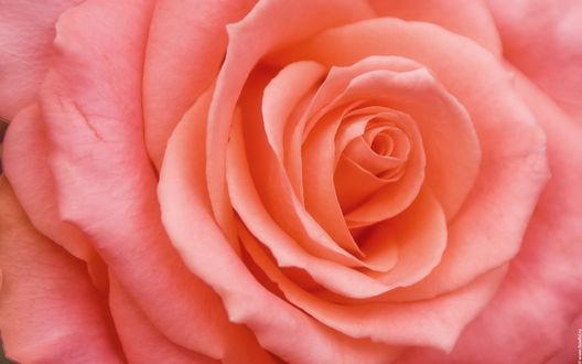 Обои Бутон розово - оранжевой розы крупным планом