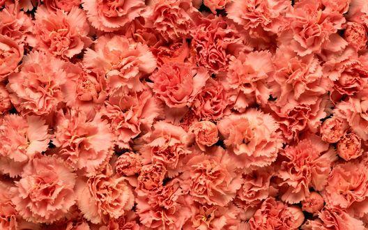 Обои Много розовых гвоздик