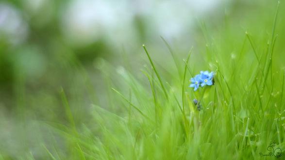 Обои Голубые незабудки в зеленой траве