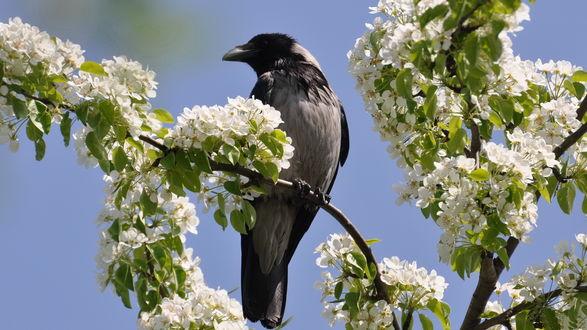 Обои Ворона, сидящая на ветке цветущей весной яблони, на фоне голубого неба