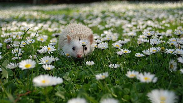 Обои Маленький белый ежик, ползущий по зеленой траве среди цветов ромашки