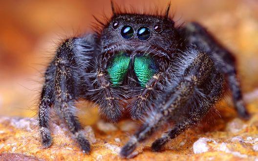 Обои Черный паук с четырьмя глазами крупным планом