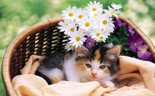 Обои Трехцветный котенок лежит в корзине с ромашками