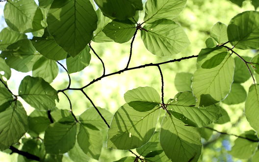 Обои Зеленая листва дерева