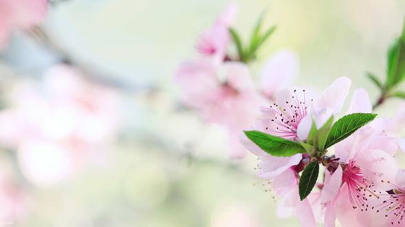 Обои Нежная цветущая ветка вишни