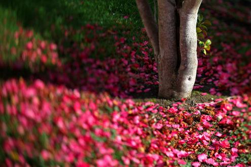 Обои Ствол дерева вокруг которого рассыпаны розовые лепестки