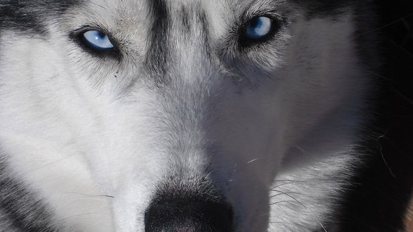 Обои Голубоглазая собака Хаски
