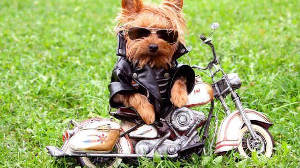 Обои Собака породы йоркширский терьер в очках и кожаном костюме, сидит у маленького мотоцикла