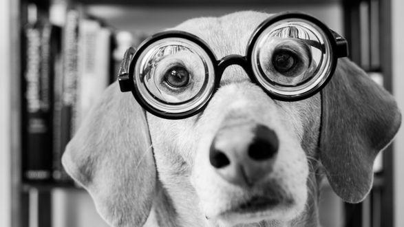 Обои Собака породы венгерская выжла в круглых очках