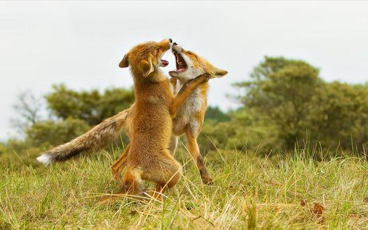Обои Лисята играются на траве