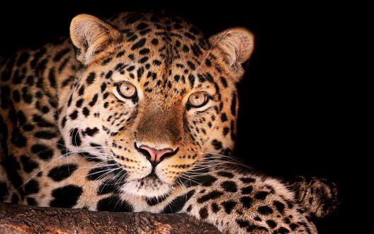 Обои Красивый леопард на черном фоне