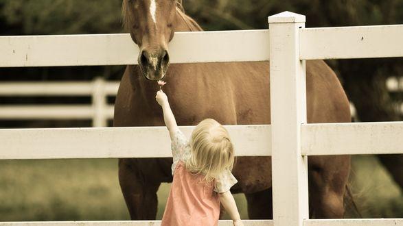 Обои Маленькая девочка протягивает лошади за оградой цветочек