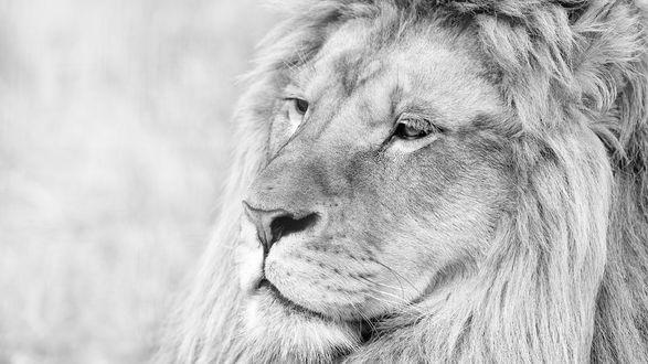Обои Морда льва, смотрящего в даль