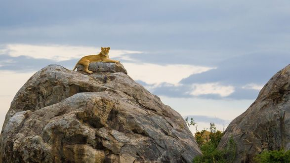 Обои Львица лежит на скале