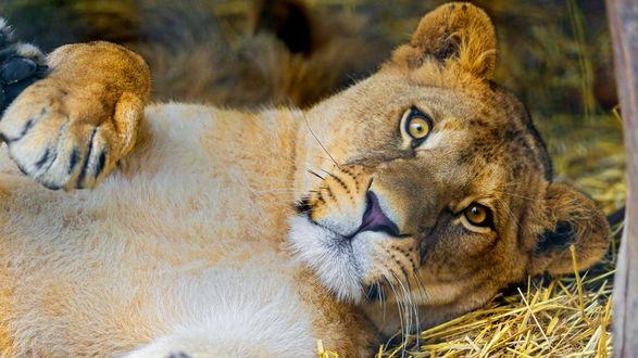 Обои Львица лежит на сене с удивленным взглядом