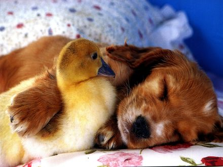 Обои Щенок спит на кровати обняв гусенка