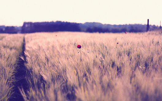 Обои Тропинка в пшеничном поле с маками