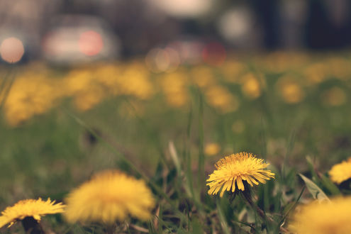 Обои Желтые одуванчики в траве