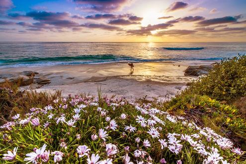 Обои Розовые цветы на берегу моря, на заднем плане видно мужчину, идущего с доской