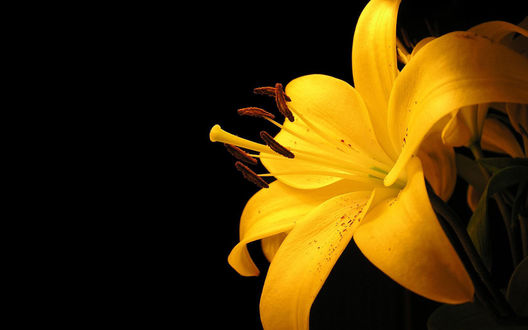 Обои Ярко-желтая лилия на черном фоне