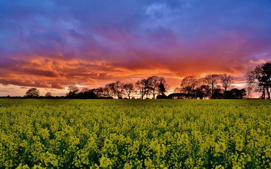 Обои Поле цветущего рапса, окруженного лесопосадкой на фоне багряного заката с синими тучами на небе