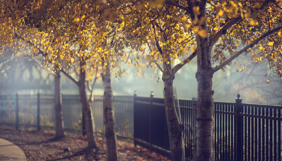 Обои Березы с желтыми листьями вдоль черного железного забора