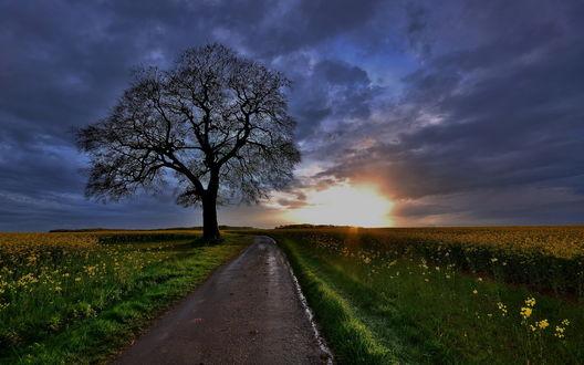 Обои Асфальтовая дорога, проходящая мимо одинокого дерева, вдоль поля с растущим на нем рапсом на фоне утреннего восходящего солнца с темными тучами