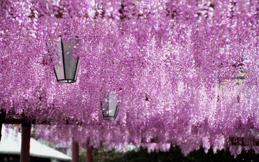 Обои Цветущая весной глициния в японском саду Кавати Фудзи, Япония / Kawachi Fuji, Jpan
