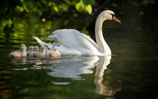 Обои Белый лебедь со своими птенцами, плывущая по водной глади водоема