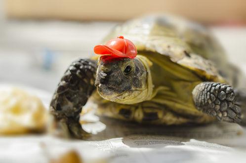 Обои Черепаха в оранжевой кепке