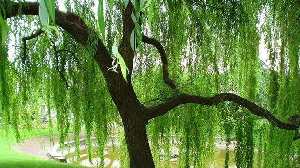 Обои Плакучая ива, растущая в парке возле фонтана