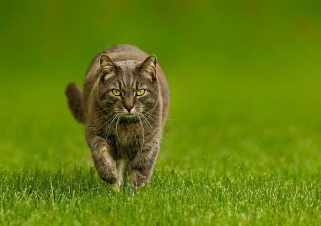 Обои Серо-коричневый кот с зелеными глазами идет по траве