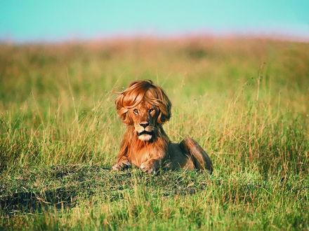 Обои Лев с прической из гривы лежит на траве в рекламе шампуня Timotei Natural Style / Тимотей Нейчерел Стайл