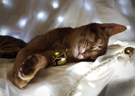 Обои Кот породы Абиссин спит рядом с колокольчиком