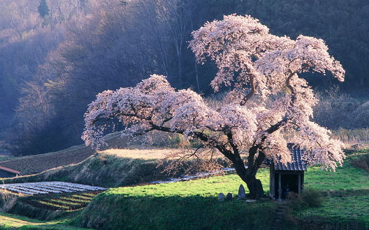 Обои Растущая на зеленом пригорке сакура, цветущая весной и стоящий рядом со стволом дерева небольшой деревянный домик с черепичной крышей, Япония / Japan