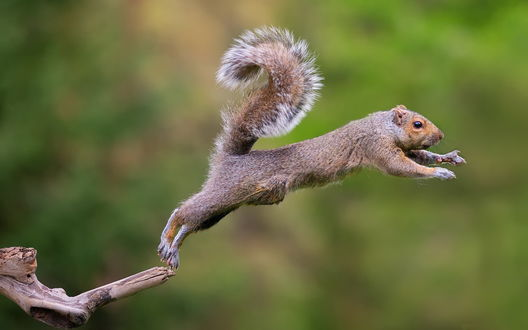 Обои Белка, оттолкнувшись задними лапами от сухой ветки дерева, совершает красивый прыжок