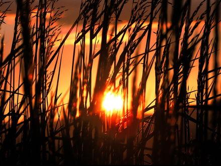 Обои Колосья высокой травы на фоне заката