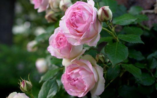 Обои Нежно - розовые розы