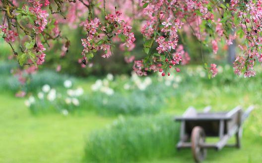Обои Ветки цветущей вишни на фоне телеги