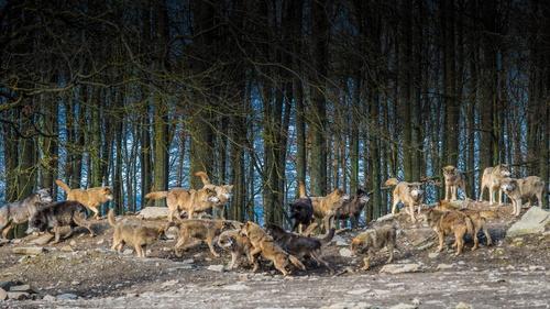 Обои Большая стая волков, находящаяся на опушке леса, обои д…