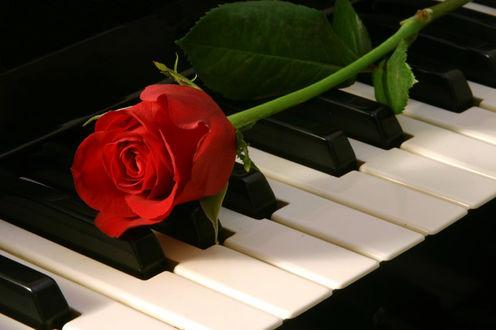 Обои Красная роза лежит на клавишах фортепиано
