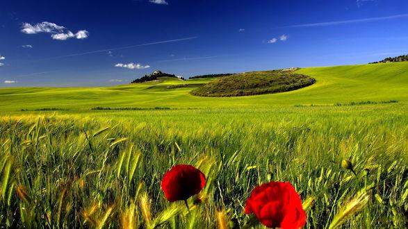 Обои Алые маки, растущие среди поспевающих зеленых колосьев пшеницы на фоне ярко-голубого неба и редких белых облаков
