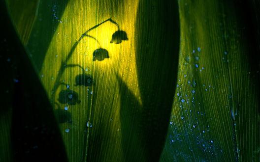 Обои Силуэт ландыша, просвечивающийся через зеленый лист с капельками воды