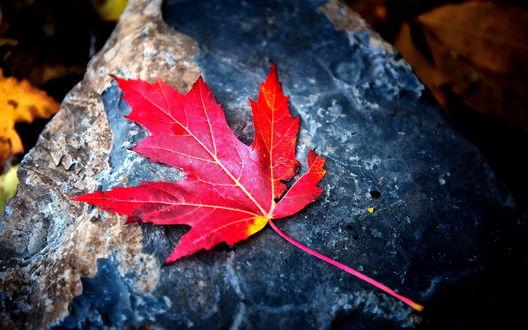 Обои Красный кленовый лист с желтыми прожилками, лежащий на камне