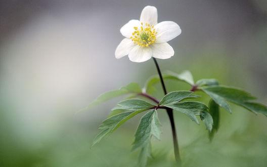 Обои Цветущий весной цветок ветреницы дубравной / anemone nemorosa
