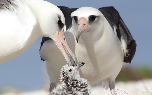 Обои Красавцы альбатросы со своим птенцом