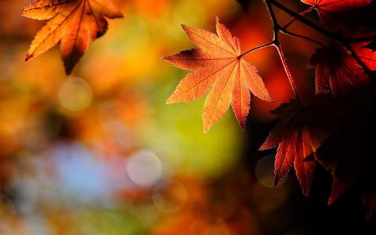 обои на рабочий стол кленовые листья осенью