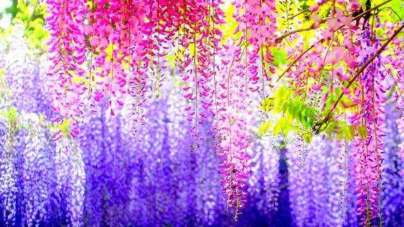 Обои Цветы глицинии разных оттенков