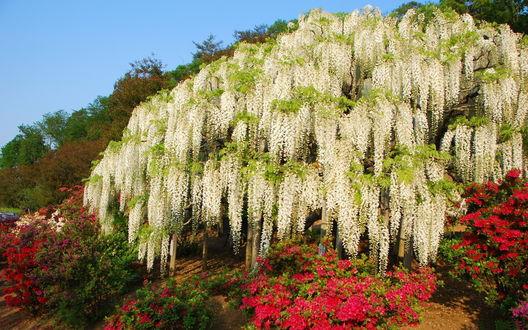 Обои Цветущая белая глициния, под деревом растут пышные кусты алой азалии